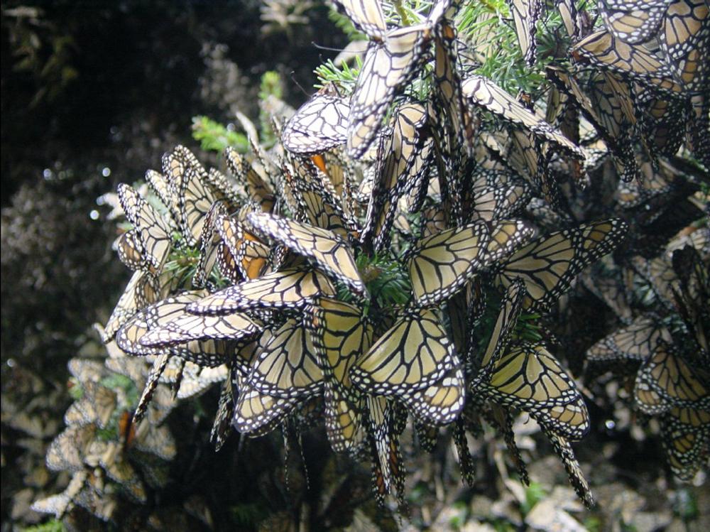 oyamel cluster