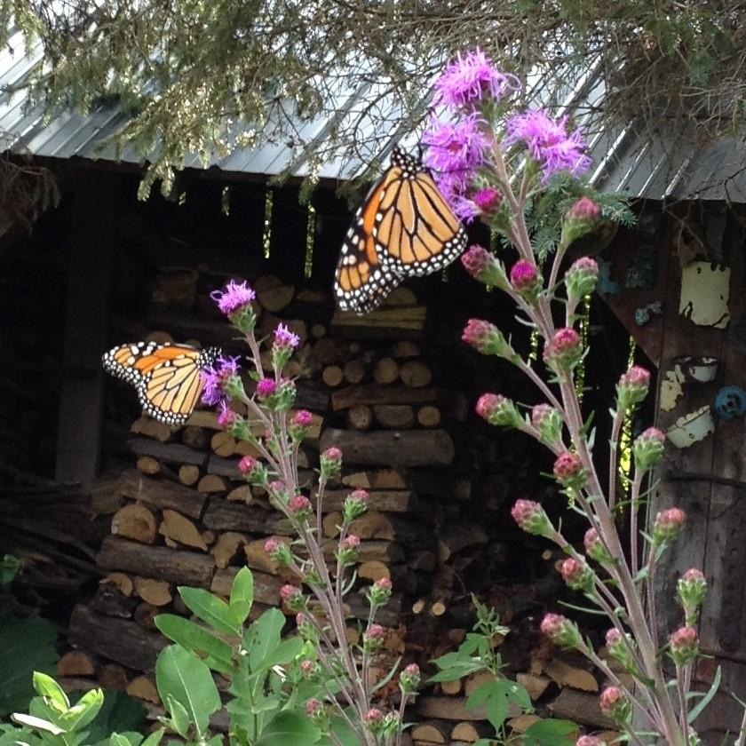 monarch on liatris